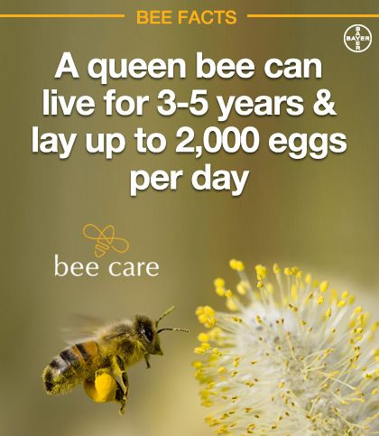 Pinterest Pin Friday Fun Facts about Bees - Luckey Bee - photo#22