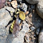 North American Bumblebee