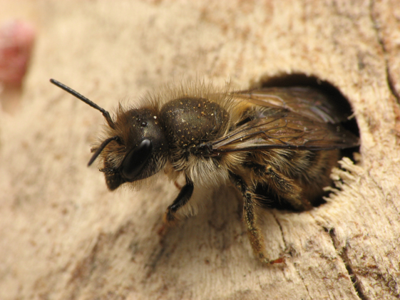 https://en.wikipedia.org/wiki/Bee#/media/File:Osmia_cornifrons.5.1.08.w.jpg