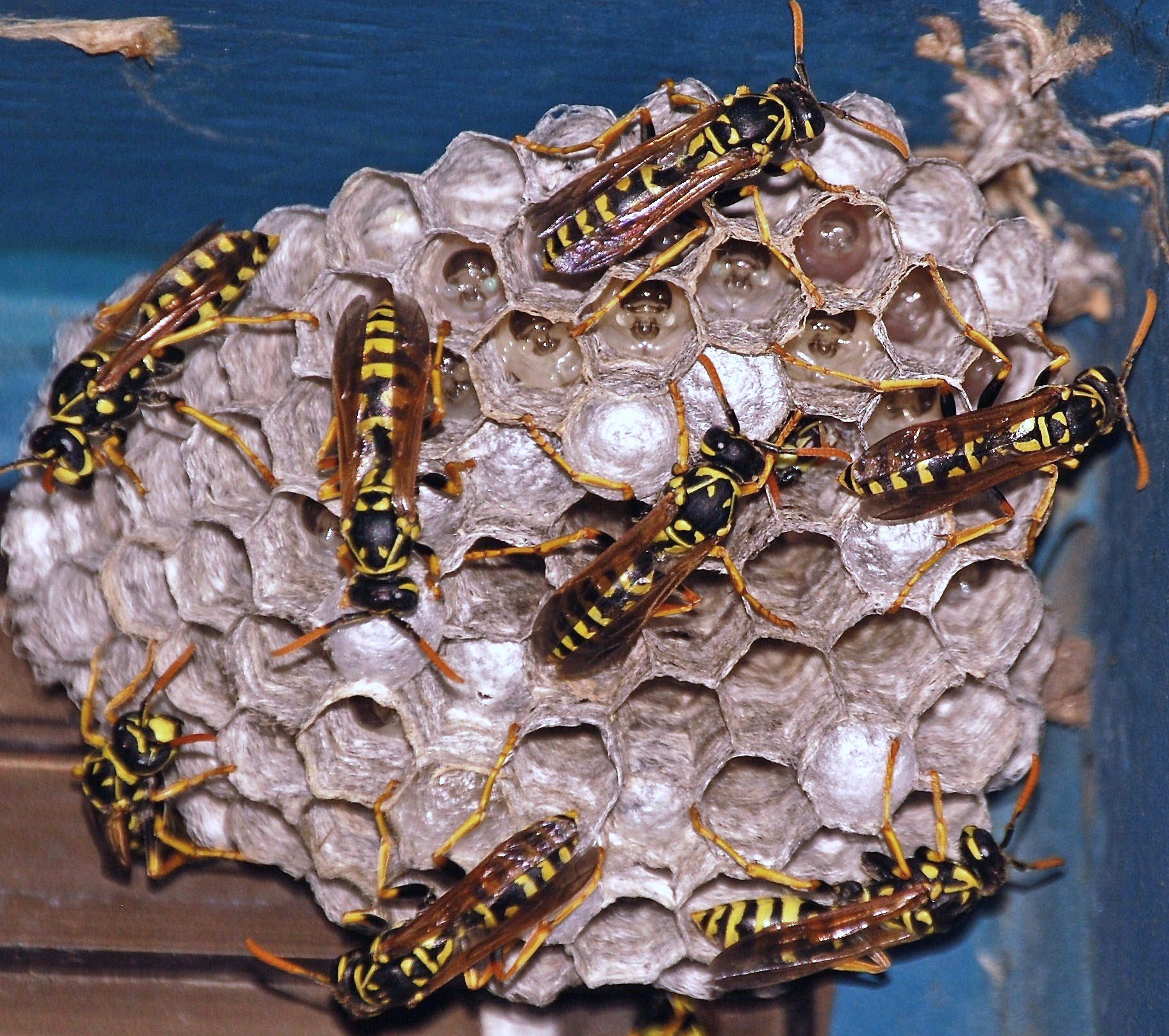 Social wasps constructing a paper nest