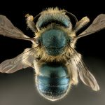 By USGS Bee Inventory and Monitoring Lab from Beltsville, Maryland, USA - Osmia conjuncta, F, MD, back_2015-11-20-21.40, Public Domain, https://commons.wikimedia.org/w/index.php?curid=47231698