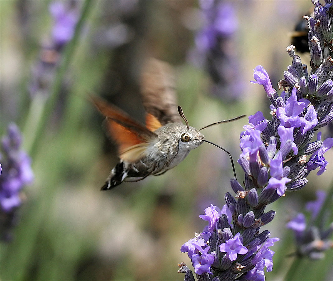 https://en.wikipedia.org/wiki/Hummingbird_hawk-moth#/media/File:IC_Macroglossum_stellatarum1_NR.jpg